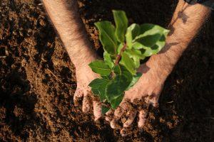 des mains qui plantent une plante
